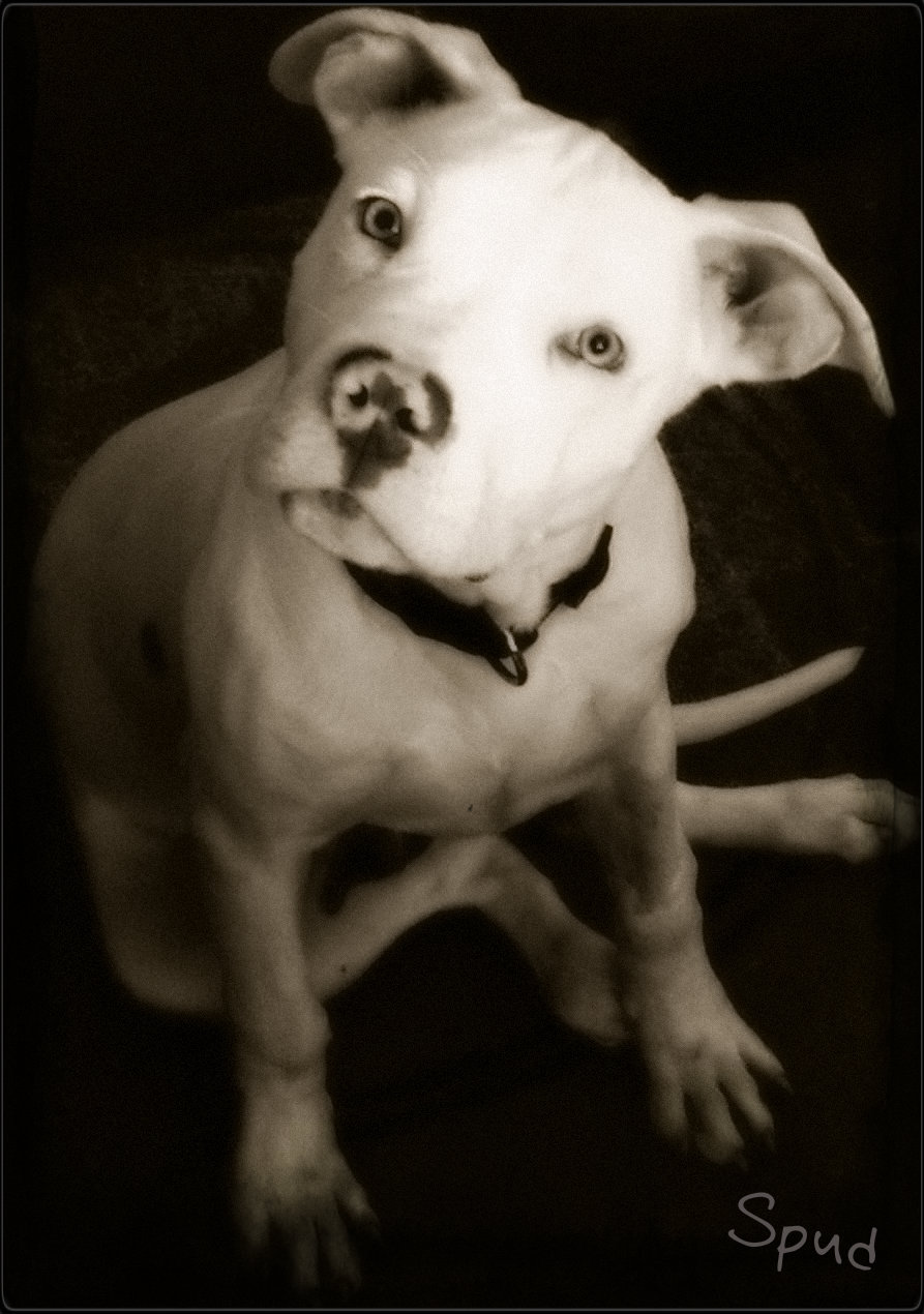 """Etowah, TN Passes """"Pit Bull"""" Breed Ban… 