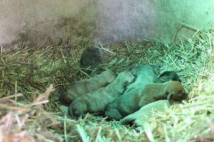 Raven's puppies living in the dog house, prior to their rescue.